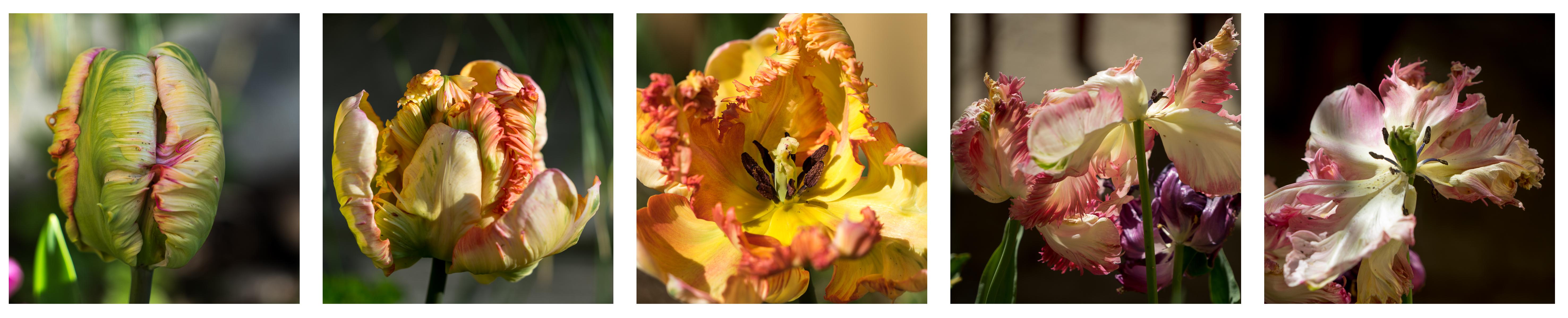 Une vie de tulipe par Patrick Edeline